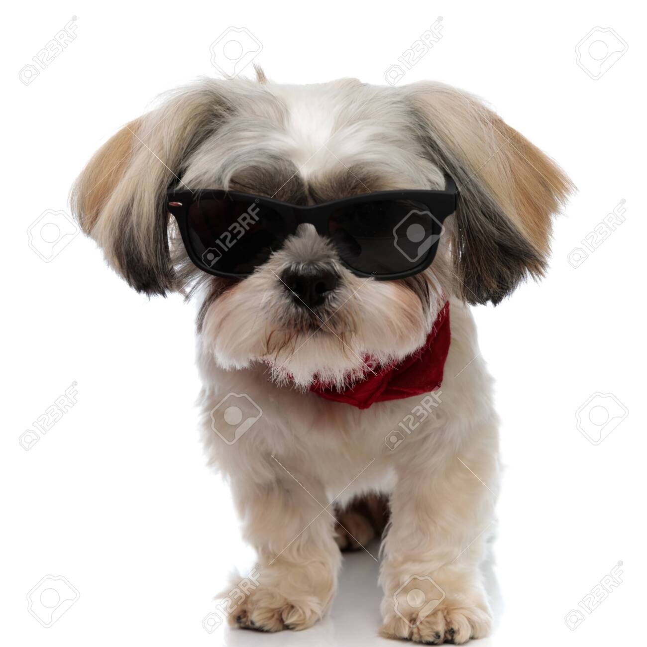 Furious Shih Tzu Puppy Wearing Sunglasses And Bandana While Walking Stock Photo Picture And Royalty Free Image Image 156555025