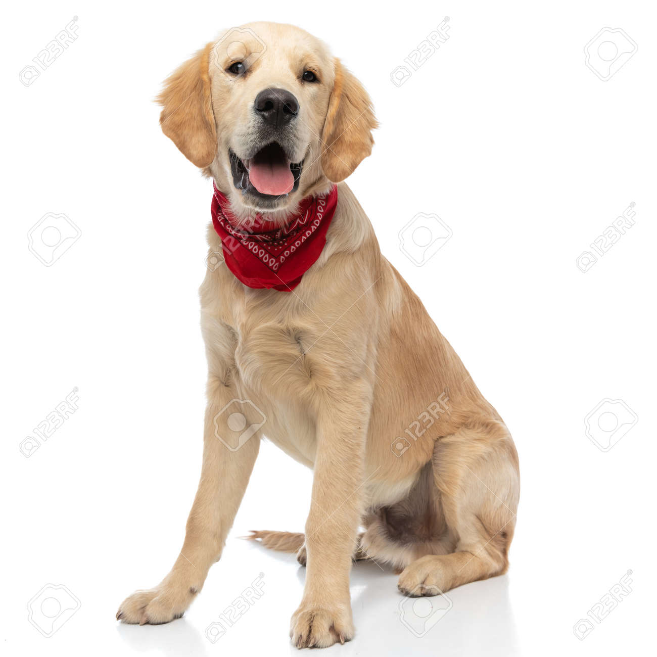 happy golden retriever dog sitting and sticking his tongue out at the camera, wearing a red bandana - 159666831