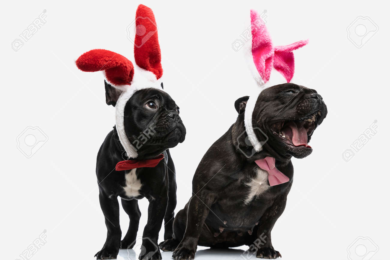two cute french bulldog dogs laughing out loud and feeling excited, wearing bunny ears - 166670660