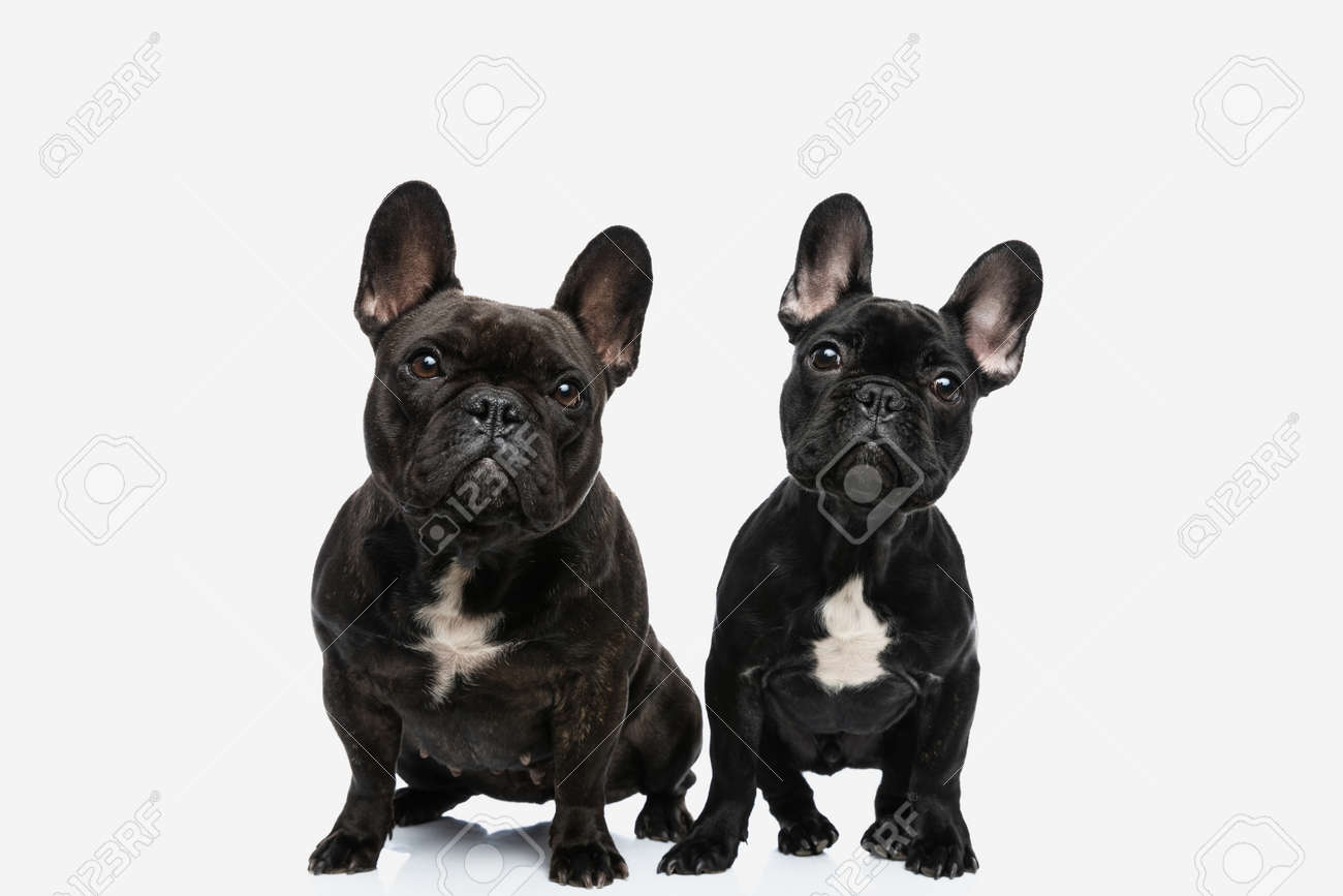 two french bulldog dogs tilting their heads while looking at the camera and sitting next to each other - 168878022