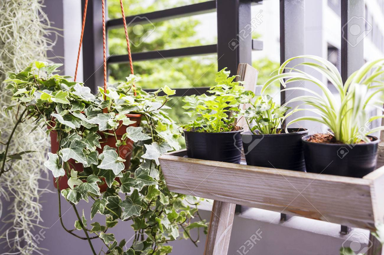 Home and garden concept of english ivy plant in pot on the balcony - 82764280
