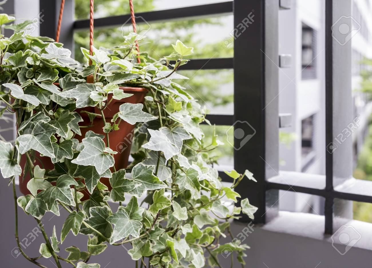 Home and garden concept of english ivy plant in pot on the balcony - 95085964