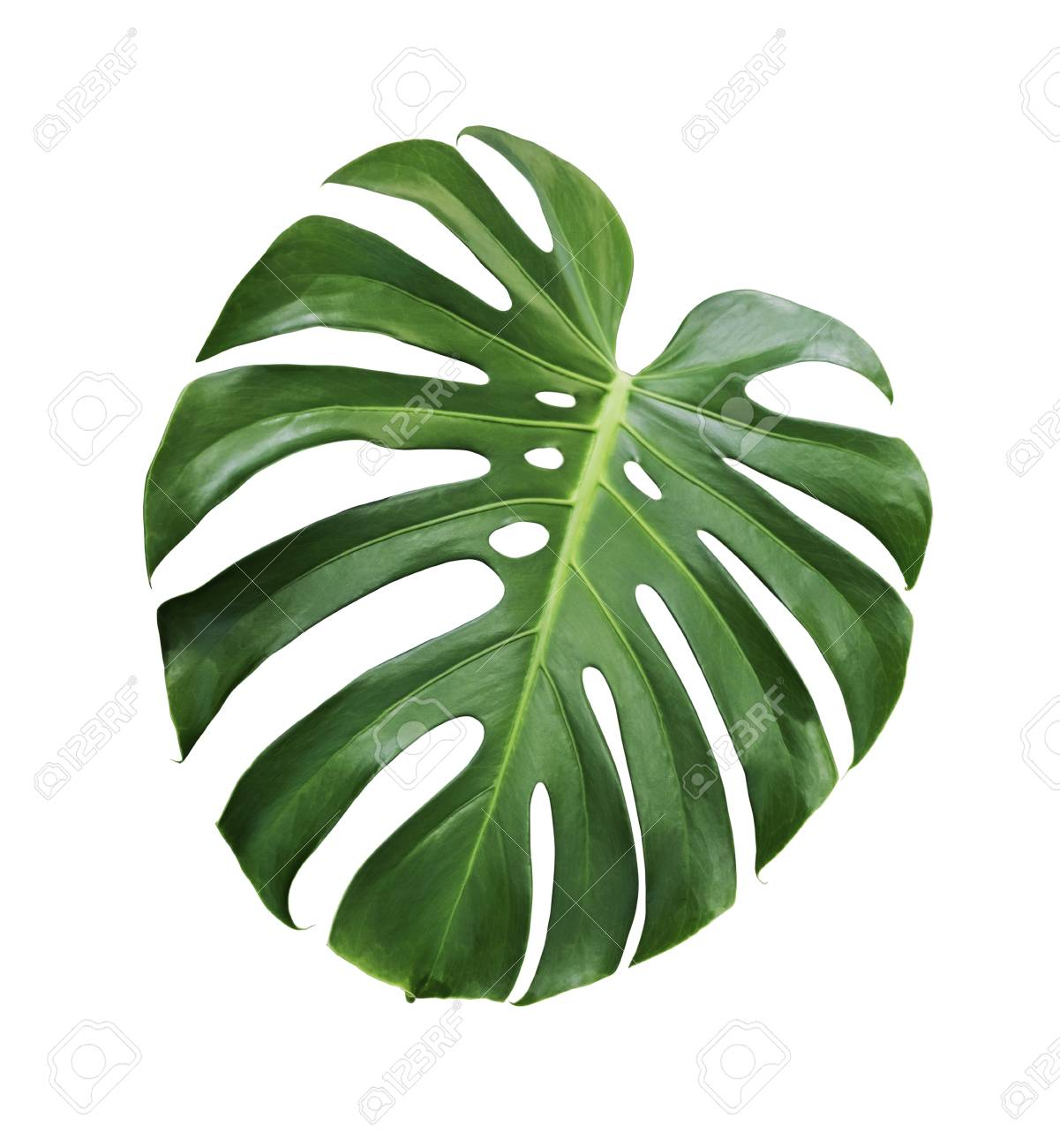 Monstera Deliciosa Tropical Leaf Isolated On White Background Stock Photo Picture And Royalty Free Image Image 98431545