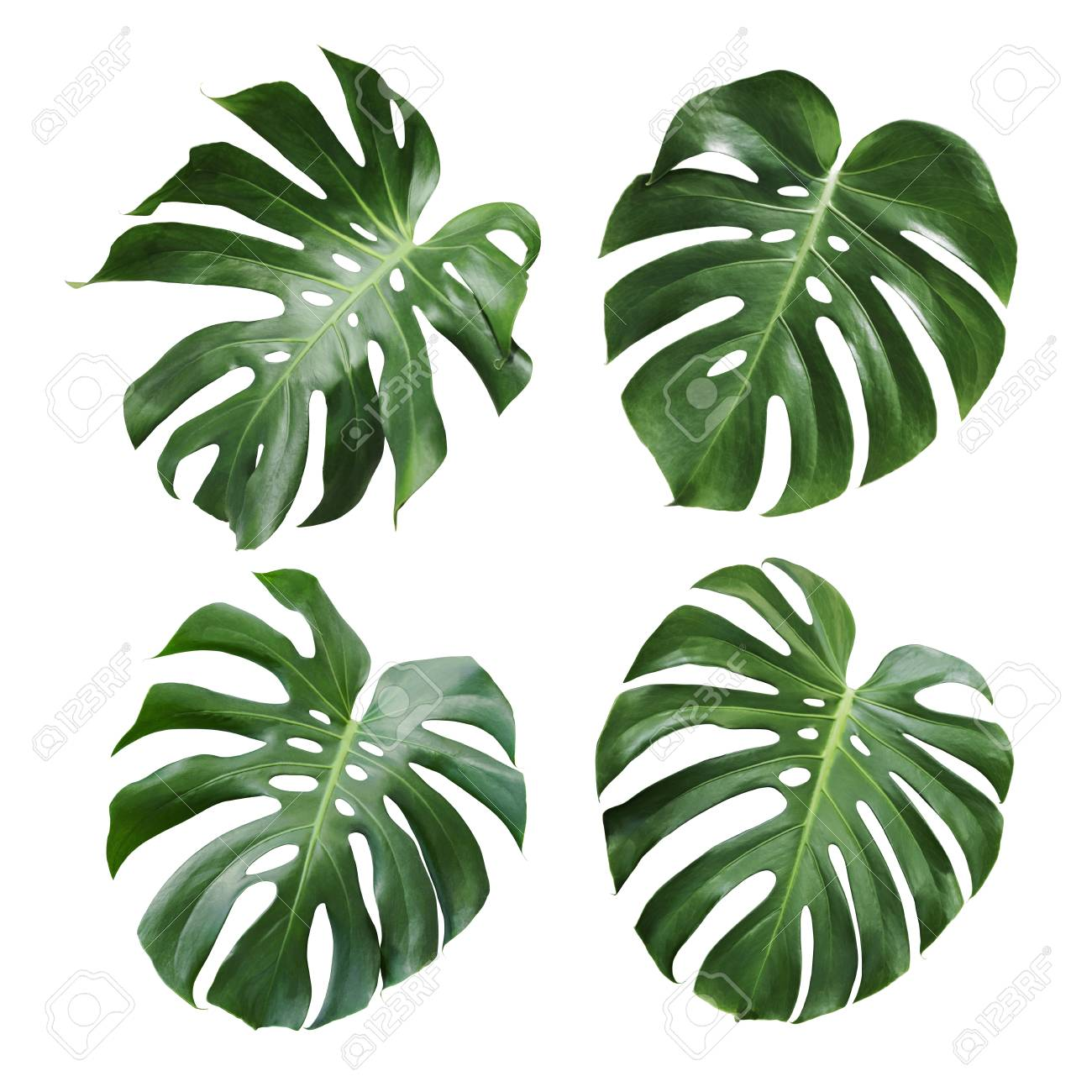 Monstera Deliciosa Tropical Leaf Isolated On White Background Stock Photo Picture And Royalty Free Image Image 98443296 Each of the element has their individual size. monstera deliciosa tropical leaf isolated on white background