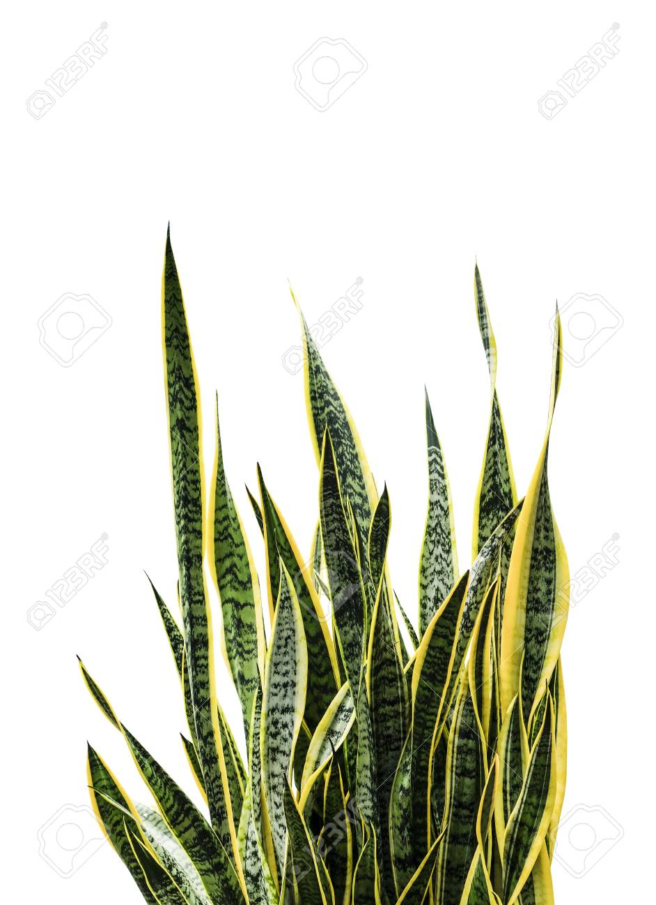 Sansevieria Trifasciata Or Snake Plant Isolated On White Background Stock Photo Picture And Royalty Free Image Image 99050302