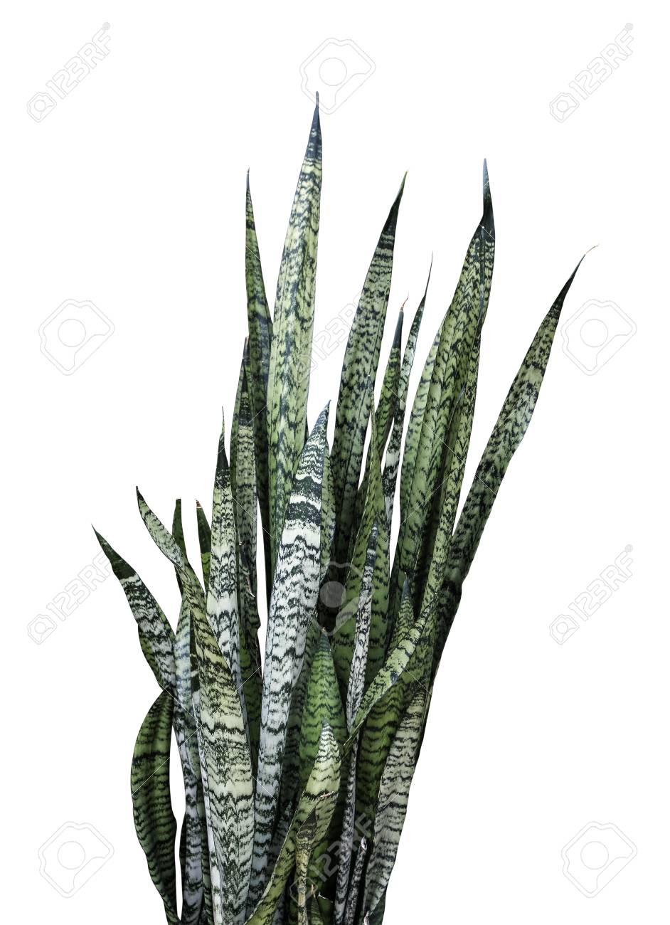 Sansevieria Trifasciata Or Snake Plant Isolated On White Background Stock Photo Picture And Royalty Free Image Image 106376279