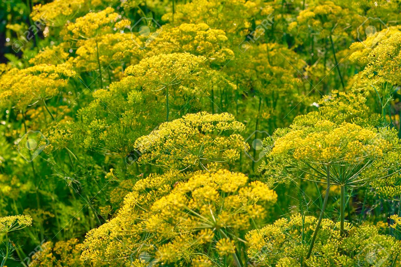 Close up yellow flowers of dill in vegetable garden background close up yellow flowers of dill in vegetable garden background natural with fennel umbrella stock mightylinksfo