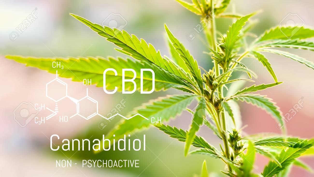 Cannabis of the formula CBD, Cbd oil  Hemp industrial plantation