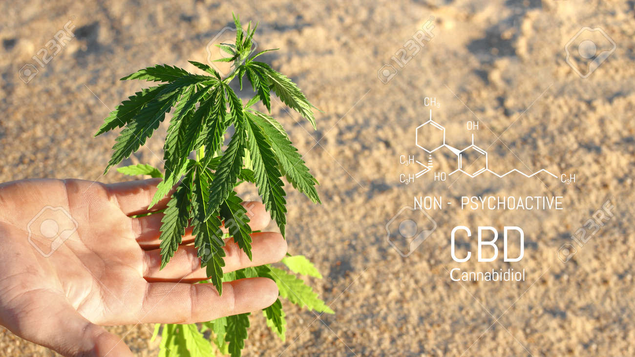 Hand holding young cannabis plant grown commercially for hemp production. Industrial hemp oil and fiber production. CBD oil - 169732106