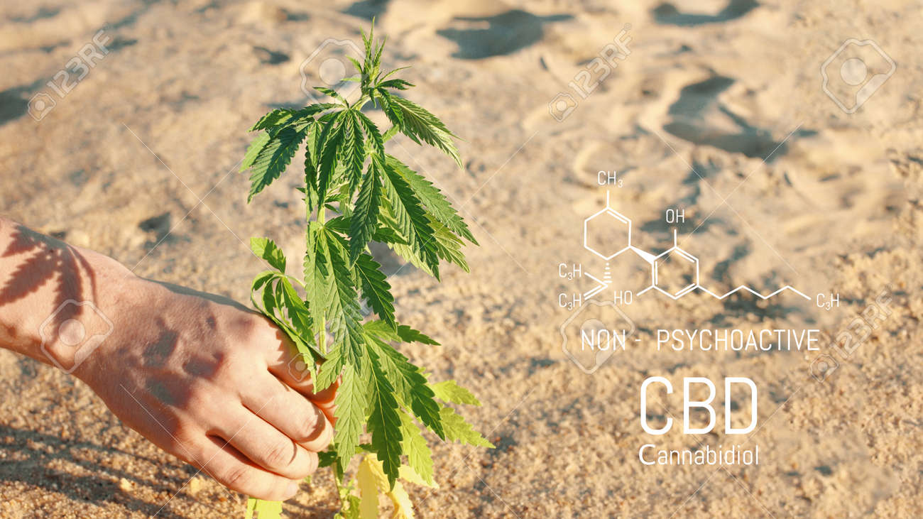Hand holding young cannabis plant grown commercially for hemp production. Industrial hemp oil and fiber production. CBD oil - 169732107