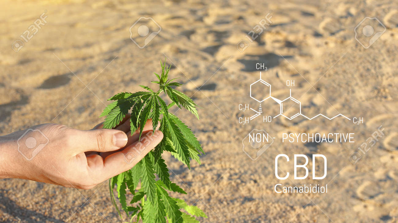 Close-up of a scientist's hand checking cannabis plants in a greenhouse, used for herbal alternative medicines and CBD oil production. - 169732110