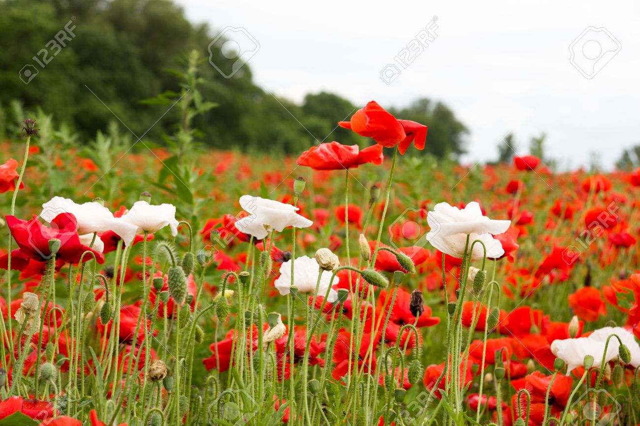 Colorful Summer Field With Red Poppies And White Flowers Landscape