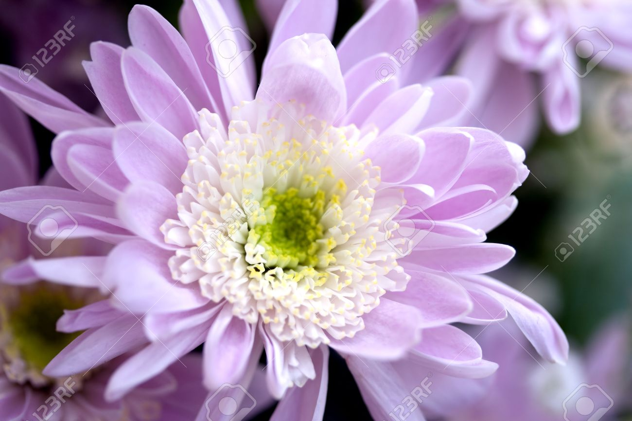 Pretty purple chrysanthemum flower in spring blossom stock photo pretty purple chrysanthemum flower in spring blossom stock photo 4893416 mightylinksfo