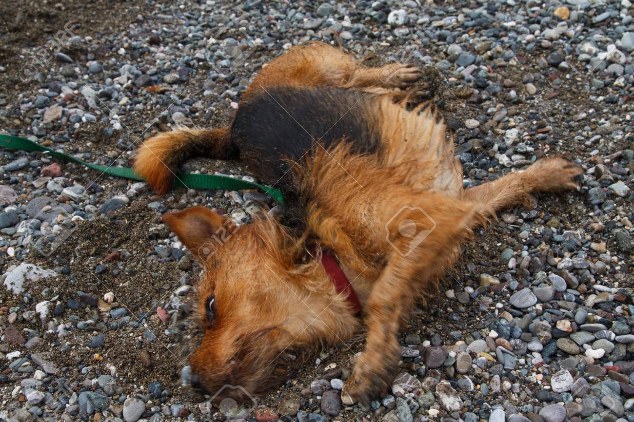 An image of dog. Yorkshire Terrier Stock Photo - 7860913