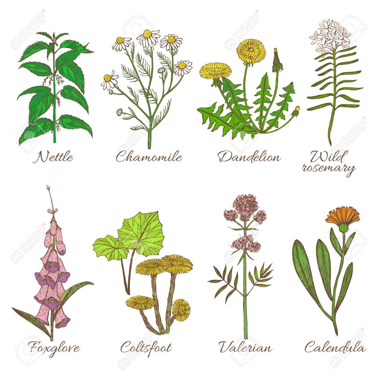 Conjunto De Plantas Medicinales. Colección De Colores En Estilo ...
