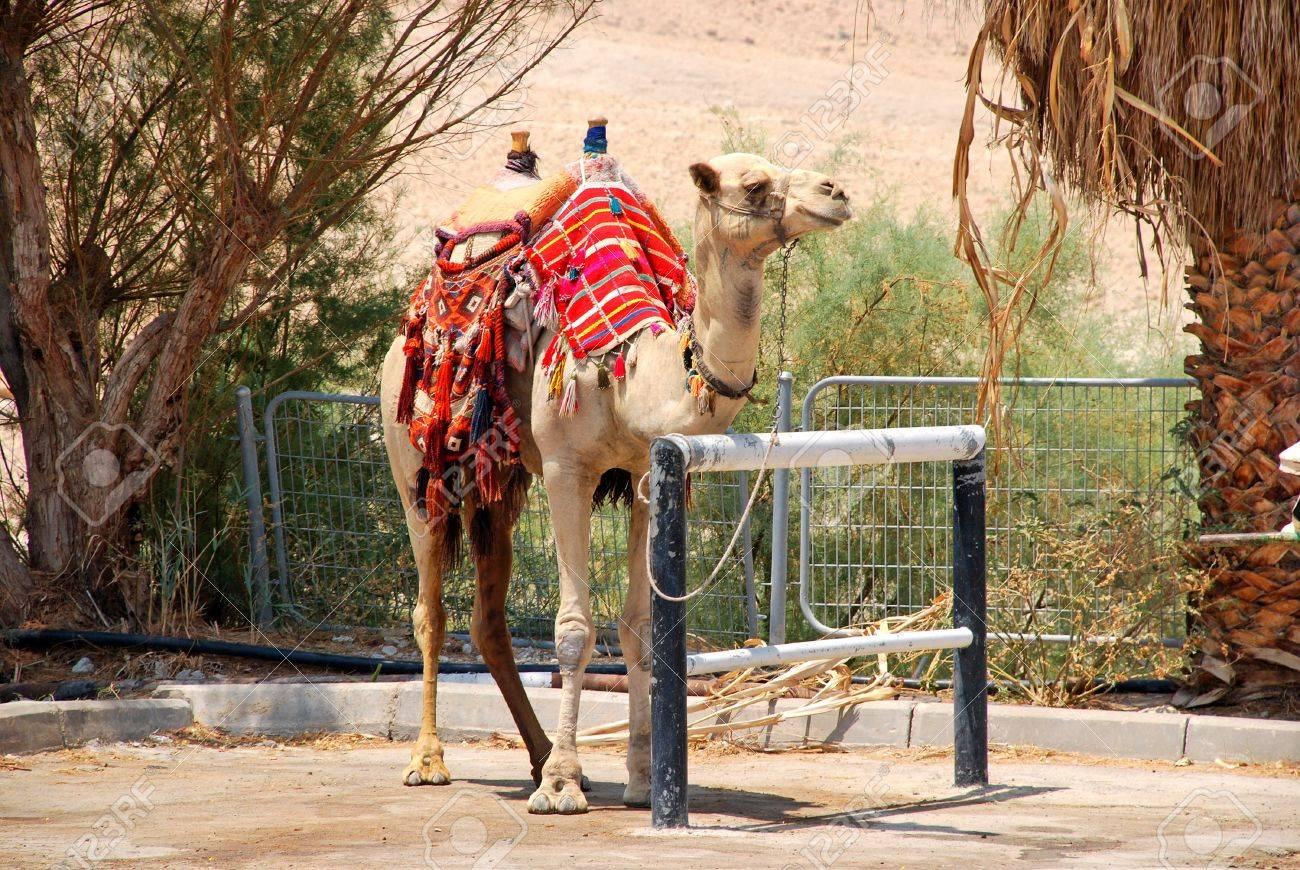 camel in Israel kibbutz in desolate wilderness Stock Photo - 10920424