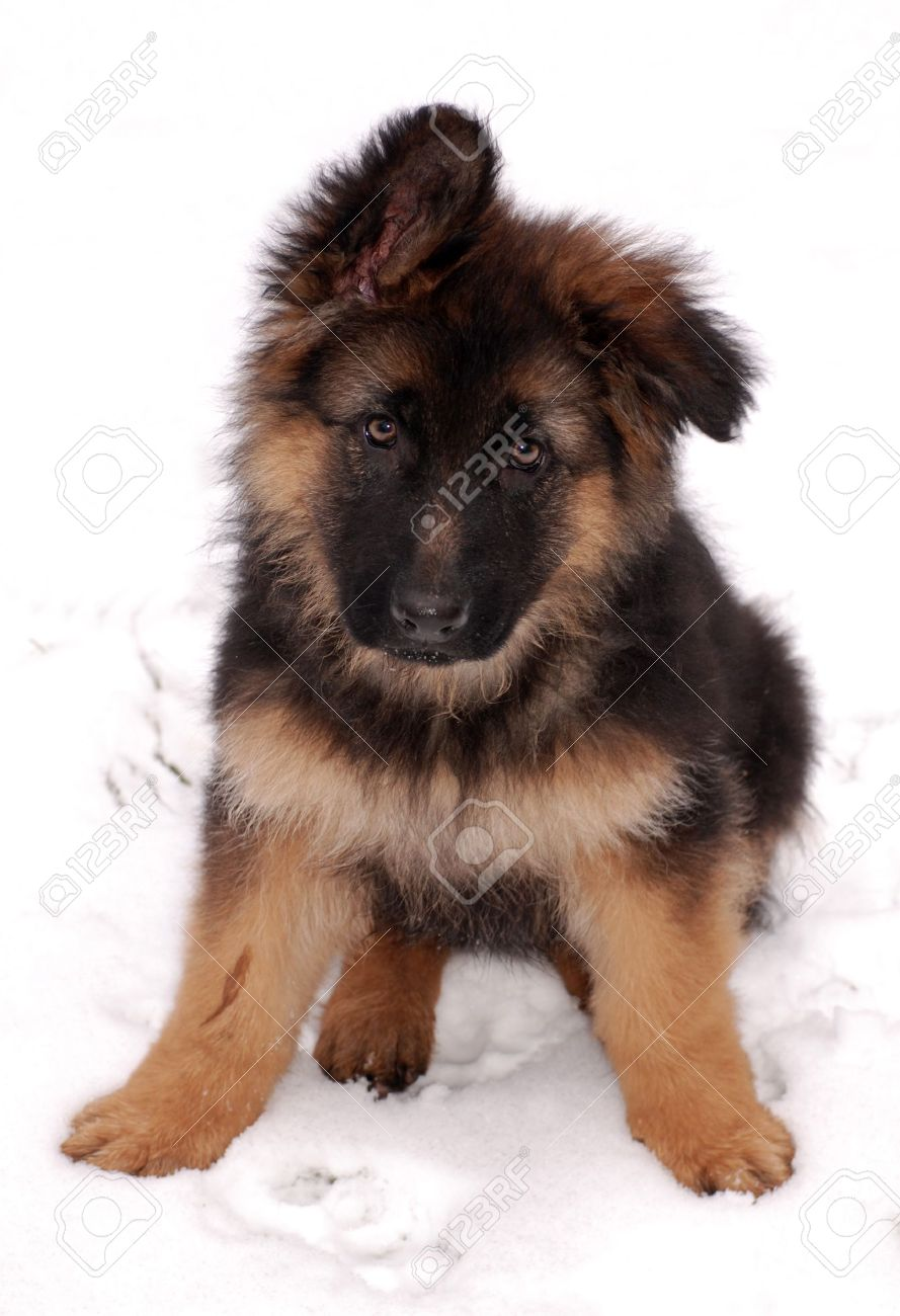 Cute fluffy German Shepherd puppy, 3 months old, sitting on the snow. Stock Photo - 12231572