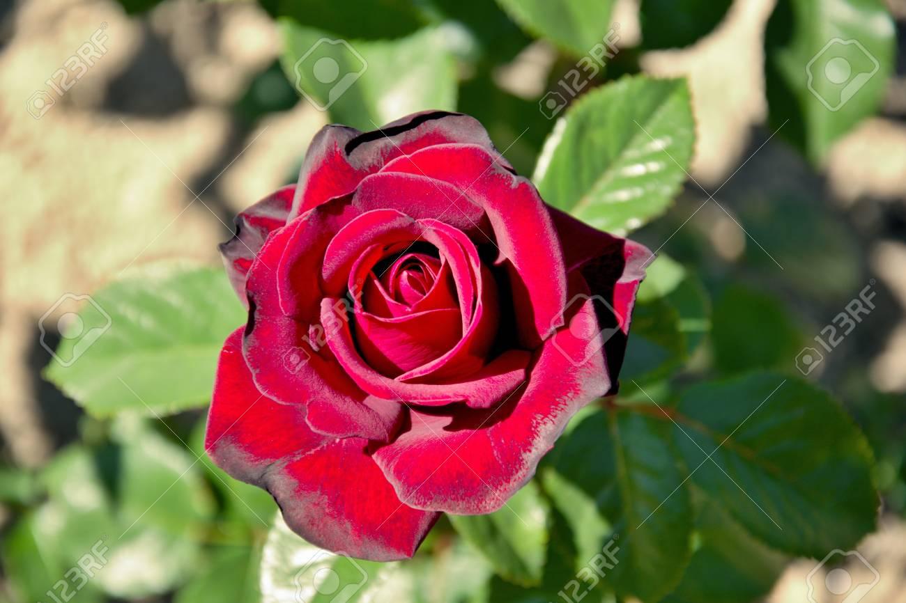 Fleur Rose Rouge Pour Femme Aimee Banque D Images Et Photos Libres
