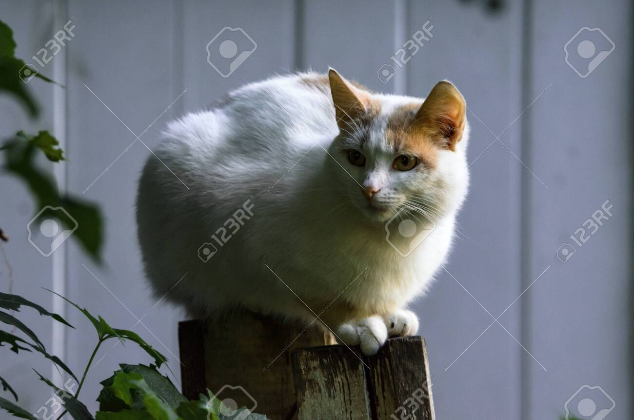 Almost completely white cat sits on the fence portrait - 130783120