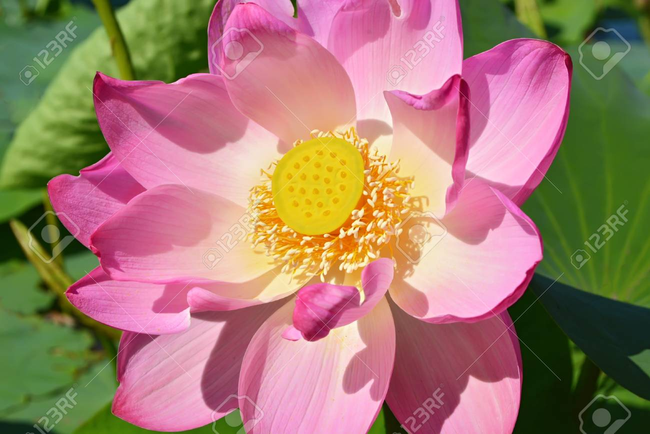 This flower admire admire bow down before him after all lotus stock photo this flower admire admire bow down before him after all lotus is the symbol of the gods lotus the sacred flower of buddhism surprises izmirmasajfo Images
