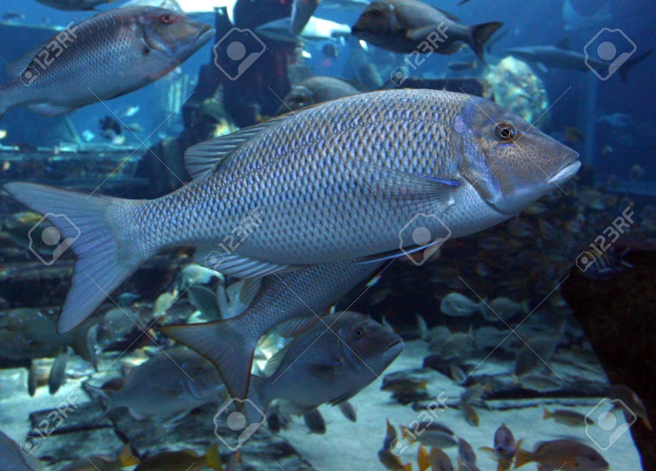 Fish in big aquarium - Big Fish In A Public Aquarium Stock Photo 12402586