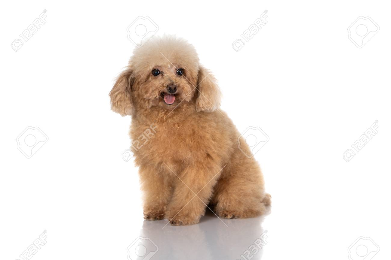 miniature poodle dog isolated - 126067455