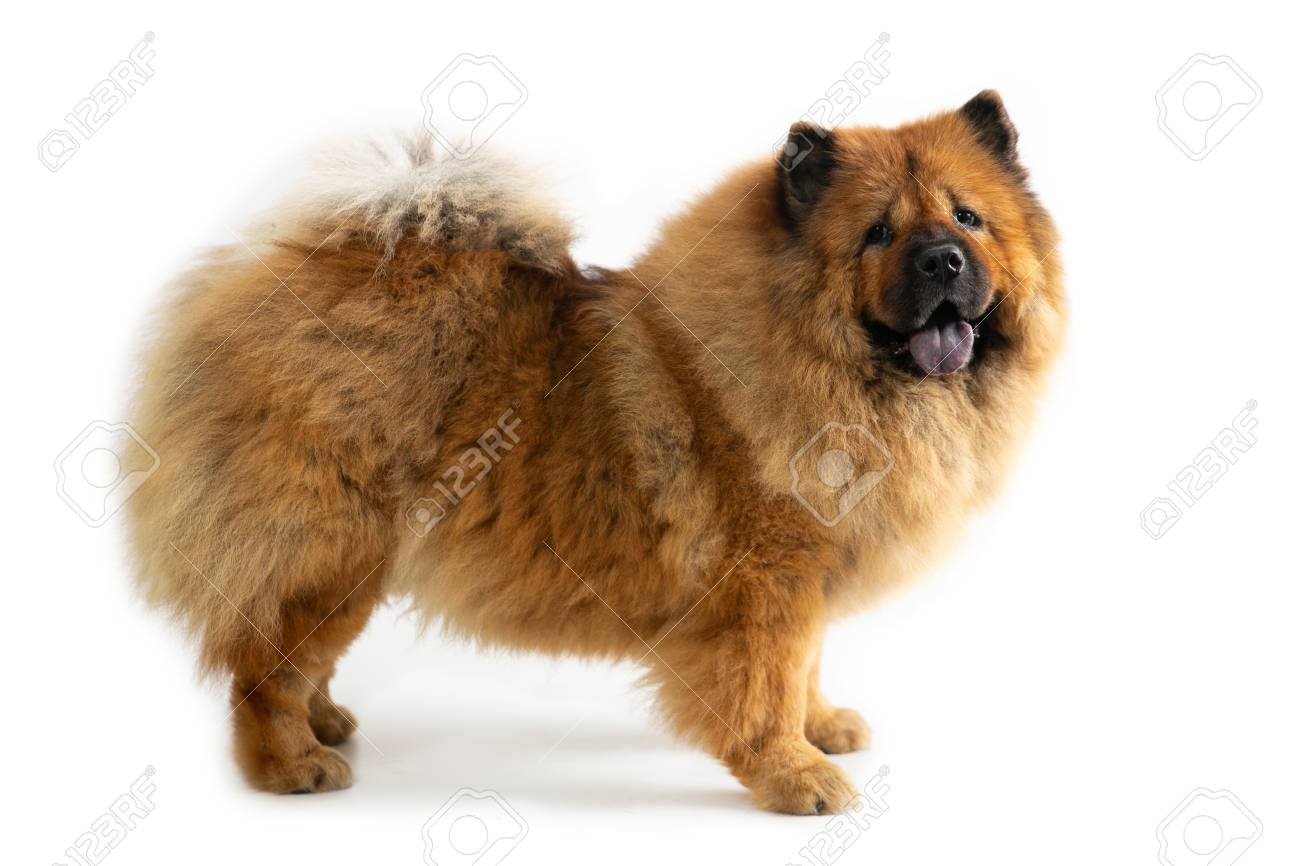 cute chow chow dog with tongue sticking out - 116876698
