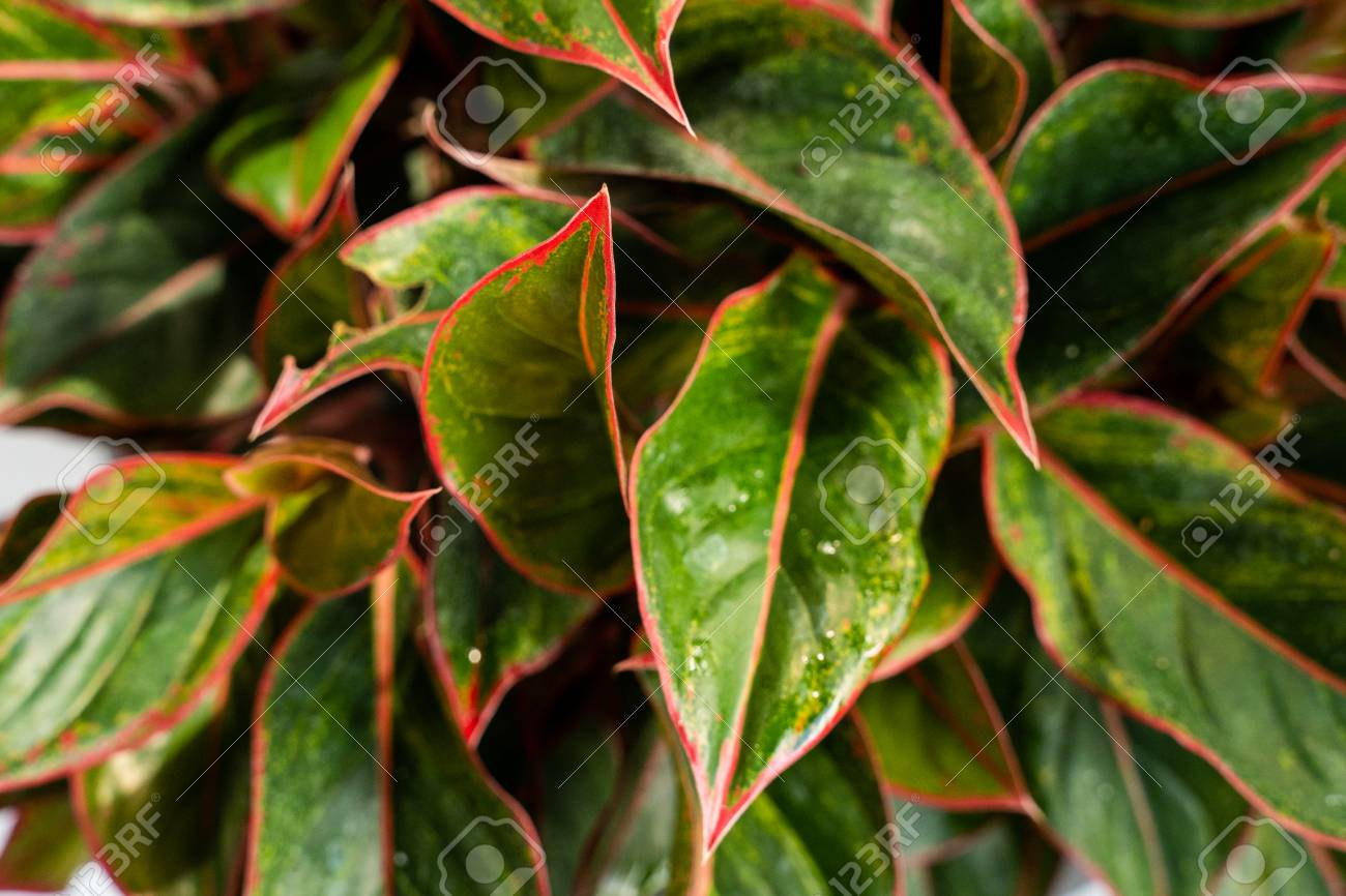 Leaves Of The Aglaonema Lipstik Are Unique Red Texture Stock Photo Picture And Royalty Free Image Image 121639363