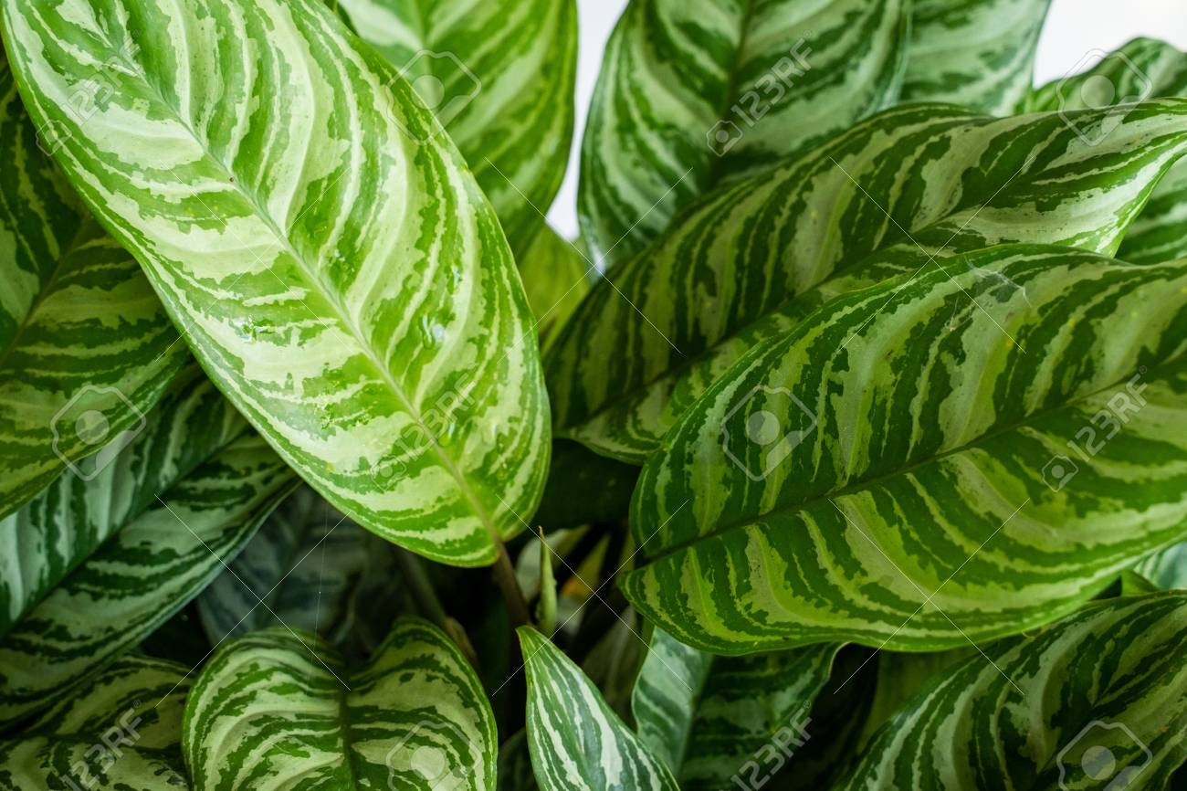 Leaves Of The Aglaonema Are Unique White Texture Stock Photo Picture And Royalty Free Image Image 121639393