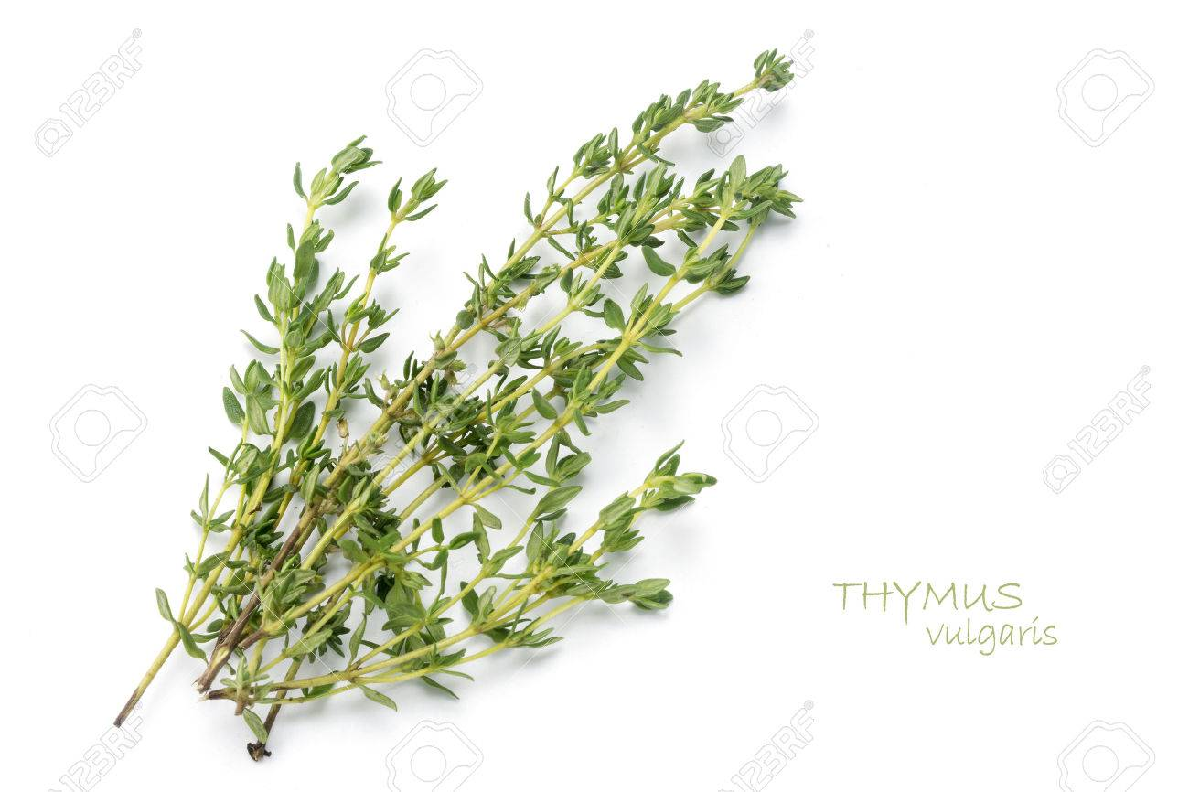 Thymus Stock Photos Royalty Free Thymus Images
