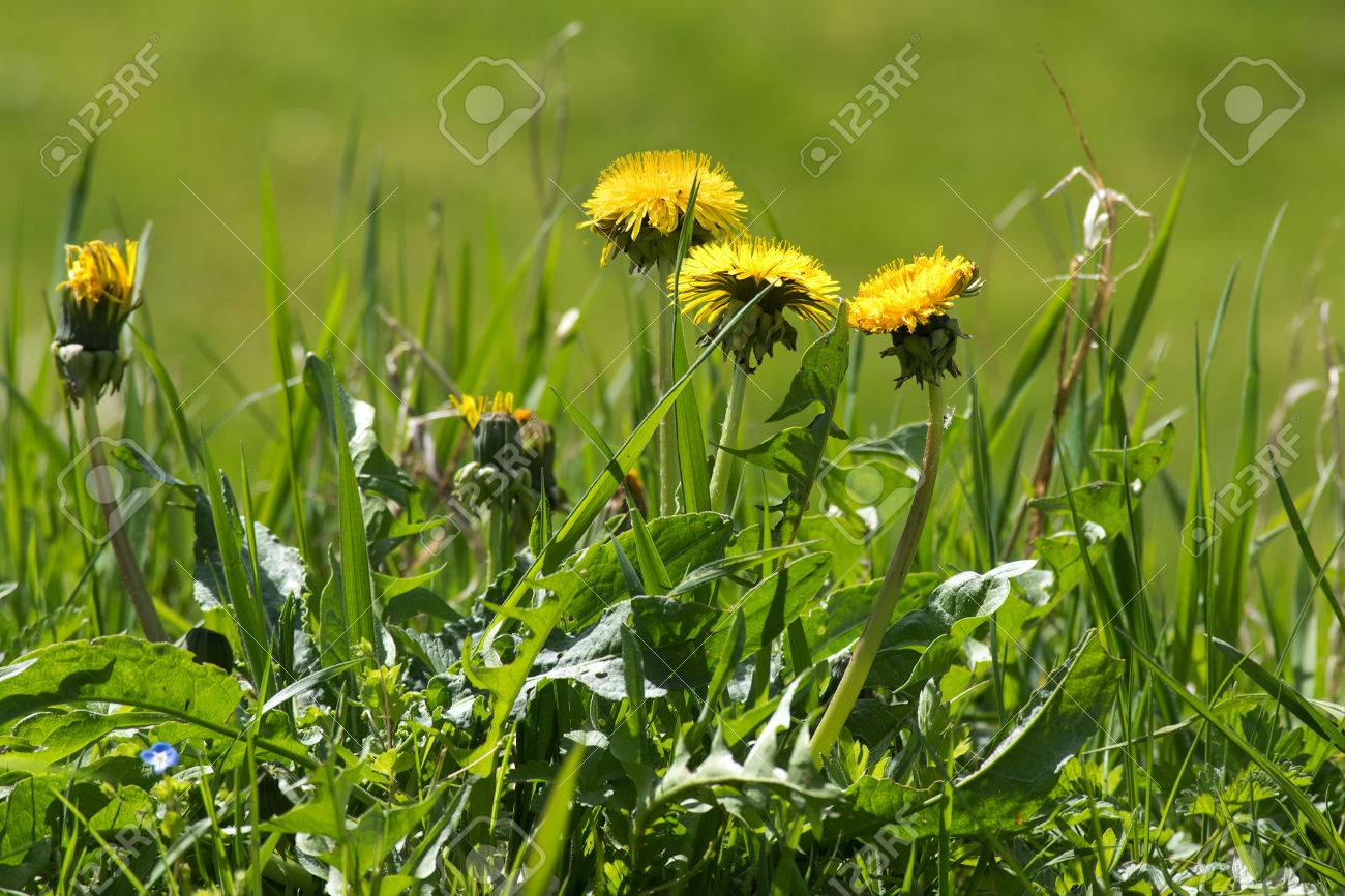 Weed In The Lawn Dandelion With Yellow Flowers Selected Focus