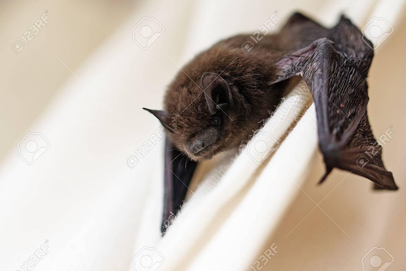 Souris Grimpe Au Mur pipistrelle commune (pipistrellus pipistrellus) une petite chauve-souris a  égaré dans la salle et grimpe sur un rideau blanc, gros plan avec copie