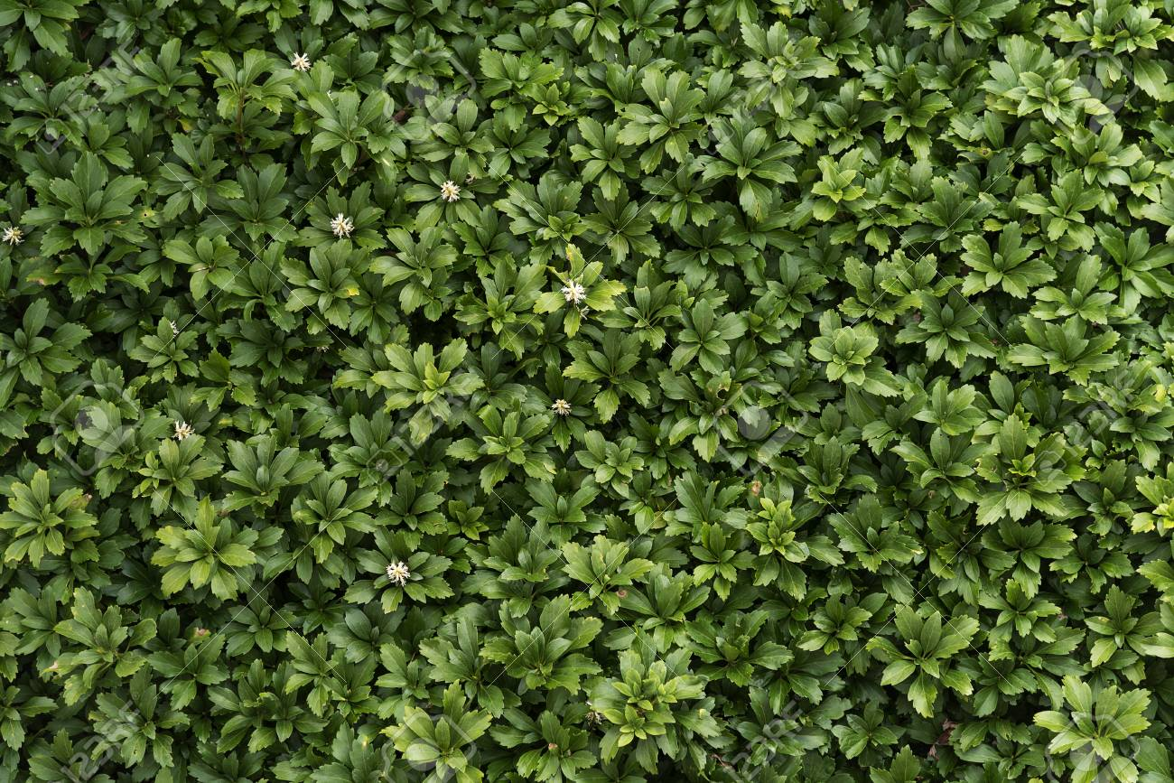 Pachysandra evergreen groundcover with small white flowers in pachysandra evergreen groundcover with small white flowers in spring as a background texture stock photo mightylinksfo