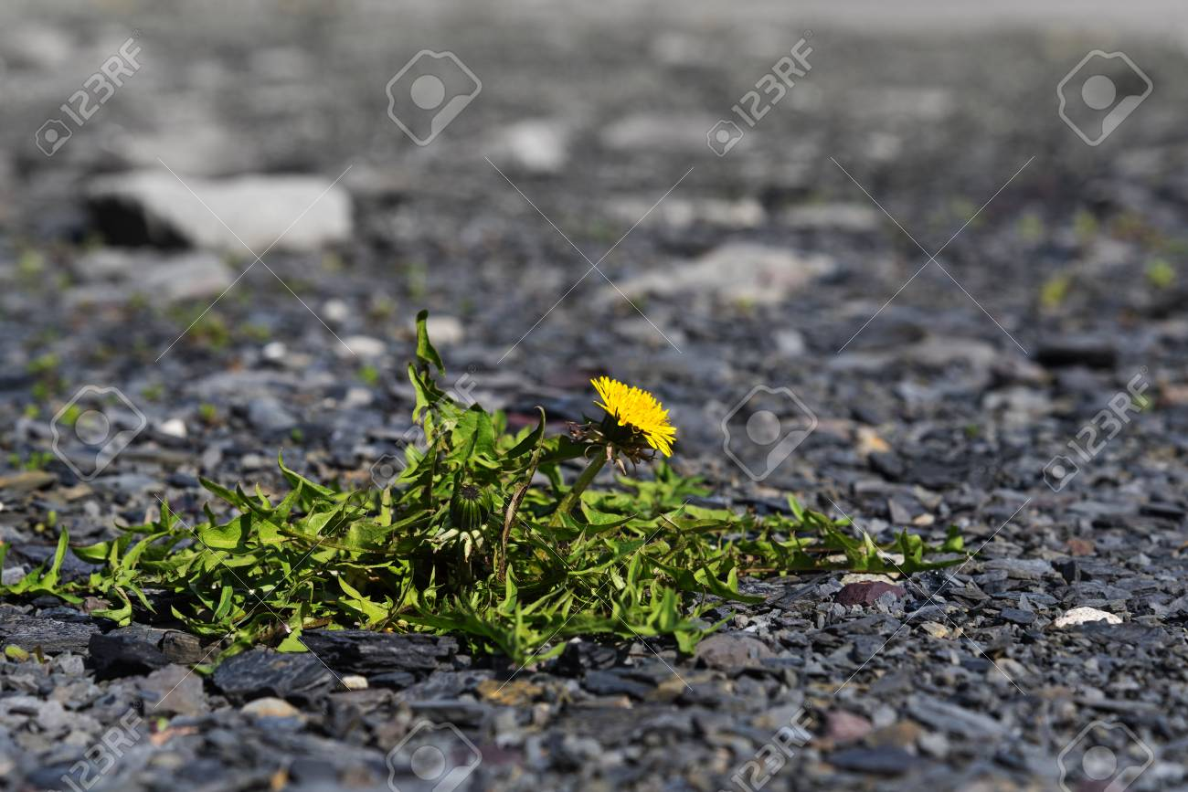 Dandelion With Yellow Flower Survival Artist Weed On A Gravel