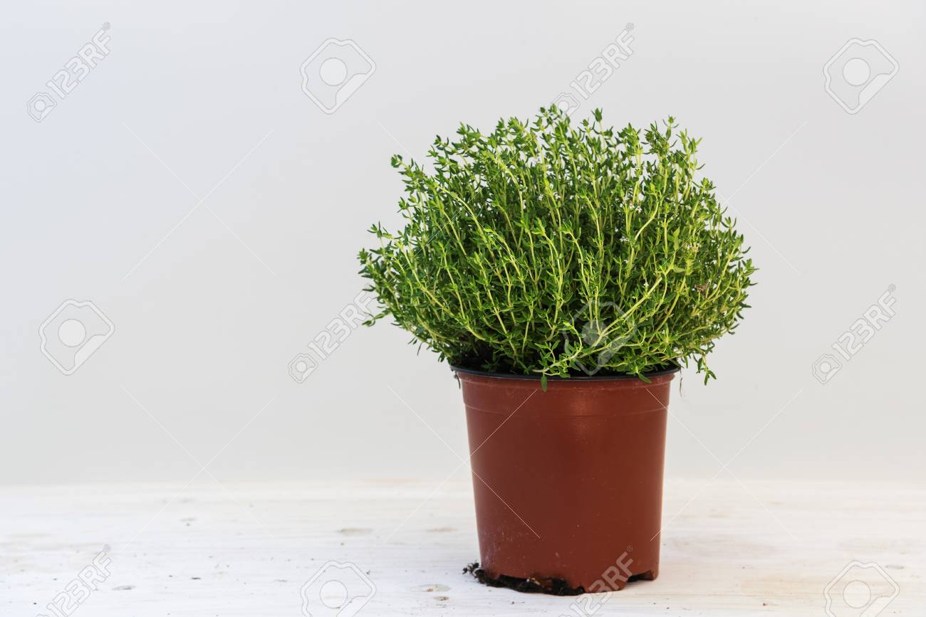 Thym Plante En Pot Contre Un Fond Gris Clair Avec Copie Herbes