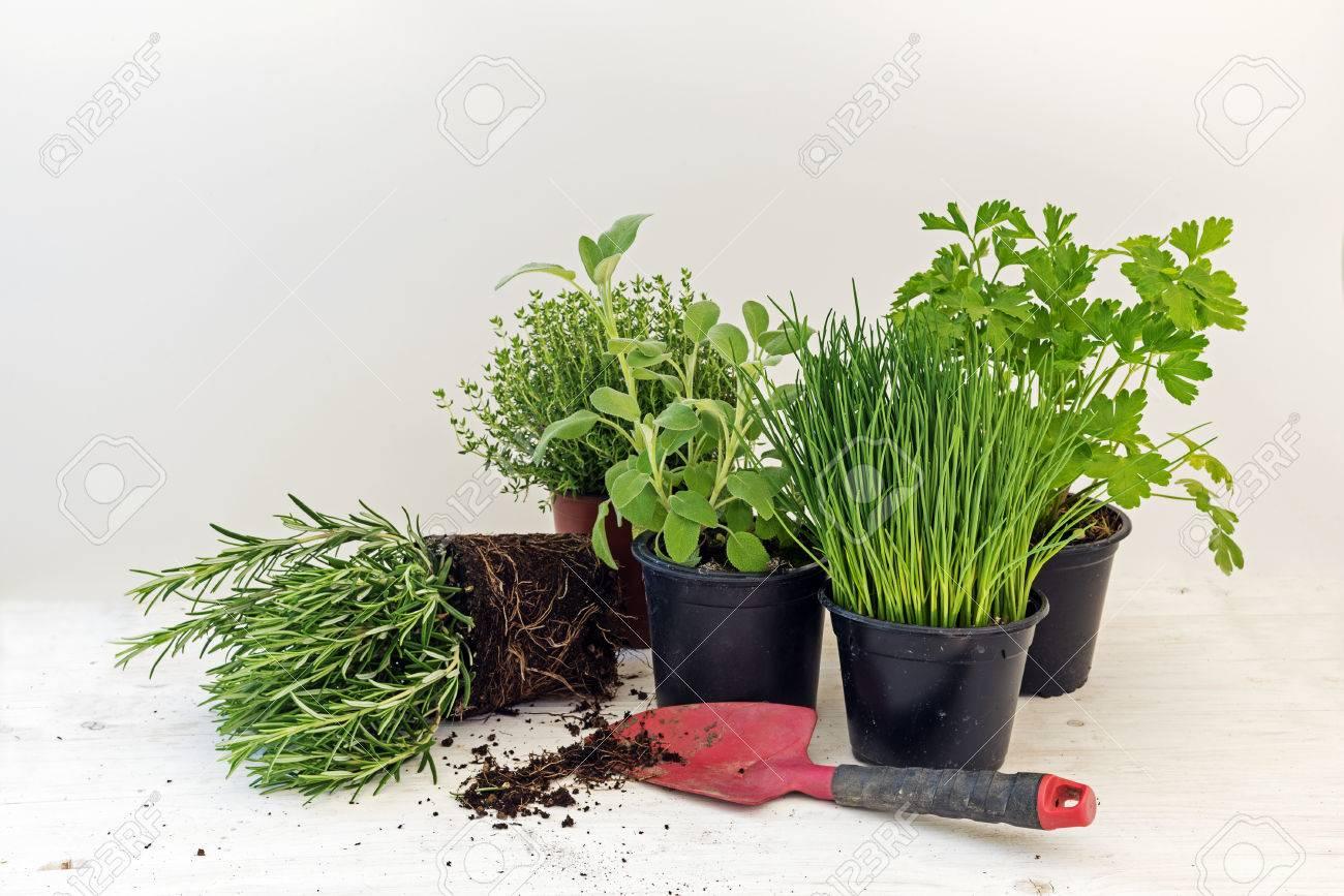 Gemeinsame Küche Kräuter Pflanzen In Töpfen Wie Rosmarin, Thymian, Petersilie &RR_49
