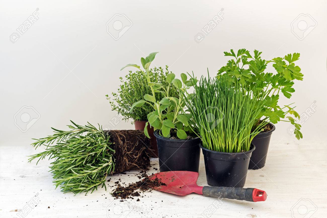 a529b2a3789 kitchen herb plants in pots such as rosemary, thyme, parsley, sage, and  chives for fresh and healthy cooking and a red shovel against a bright gray  ...