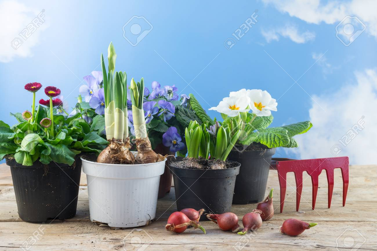 Different Spring Flowers In Pots And Some Flower Bulbs On Rustic