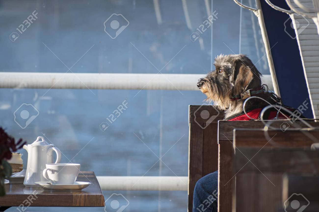 Funny Dog, Wirehaired Dachshund Dog Sitting In A Chair In Front ...