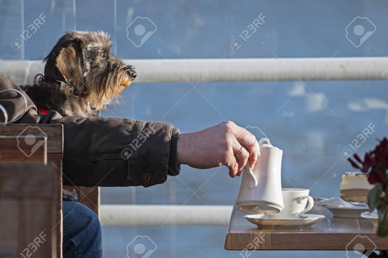 Funny Dog, Wirehaired Dachshund With A Man\'s Arm Pours Coffee ...