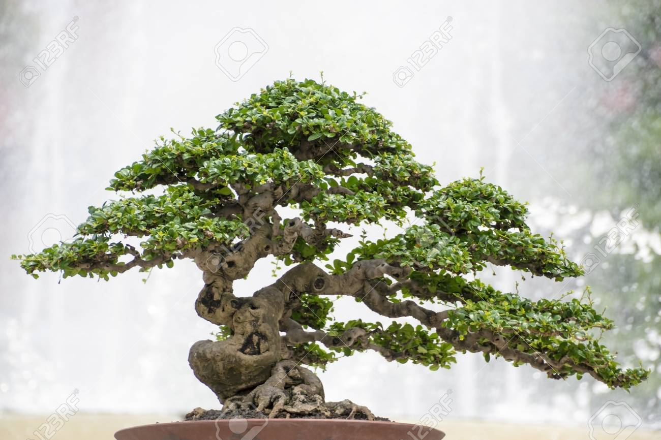 Miniature Bonsai Tree Of Hokiantea Carmona Retusa Stock Photo Picture And Royalty Free Image Image 116710880