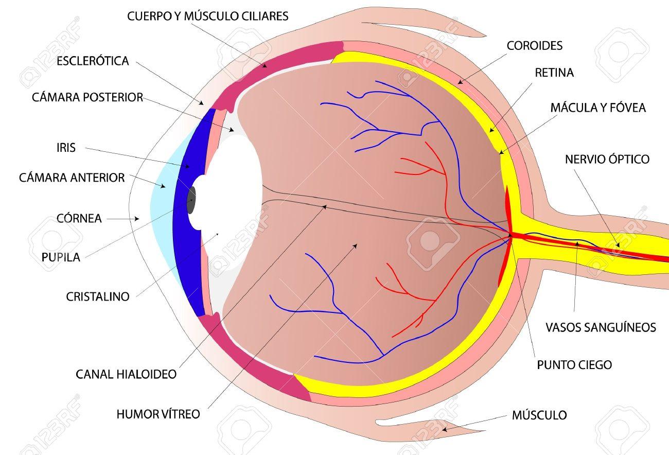 Drawing the human eye Stock Vector - 12000904