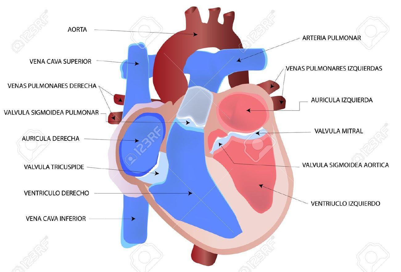 Dorable Corazón Humano Diagrama Patrón - Anatomía de Las Imágenesdel ...