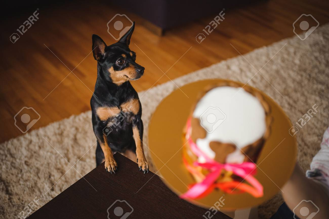 Toy Terirer Looking At Birthday Cake Hold By Woman Focus On Stock