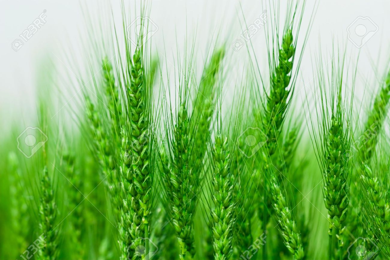 Green Spring Grains Stock Photo, Picture And Royalty Free Image ...