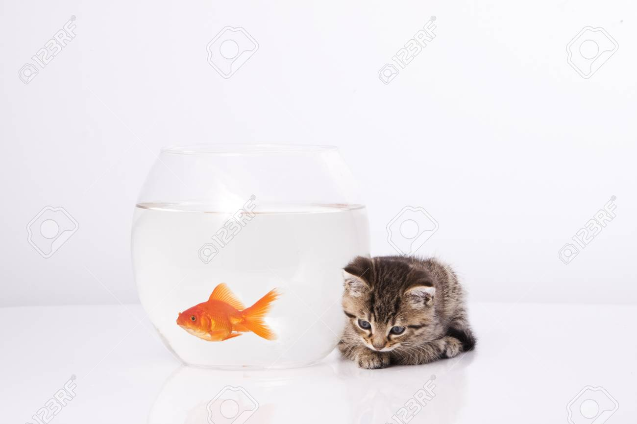 Home cat and a gold fish Stock Photo - 7242952