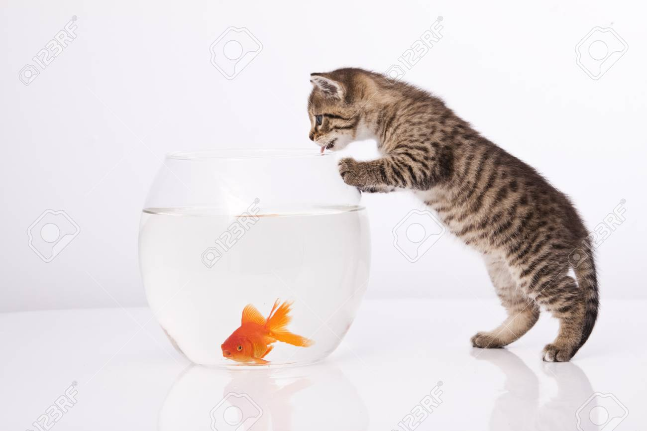 Home cat and a gold fish Stock Photo - 7272986