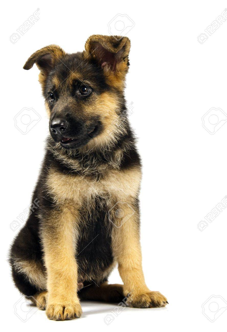 puppy of german shepard dog portrait on white background Stock Photo - 7502565