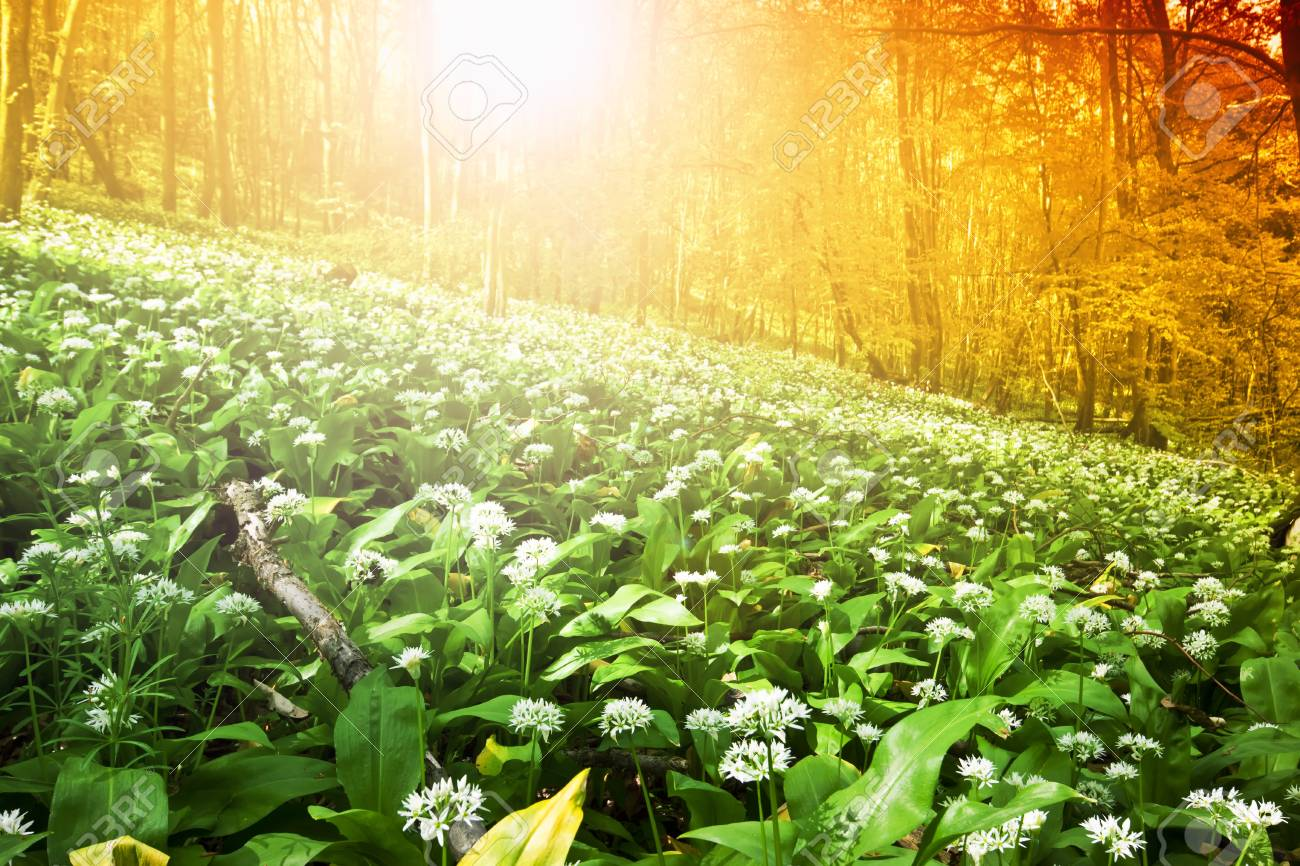 Wild garlic forest in Hungary Stock Photo - 9306713