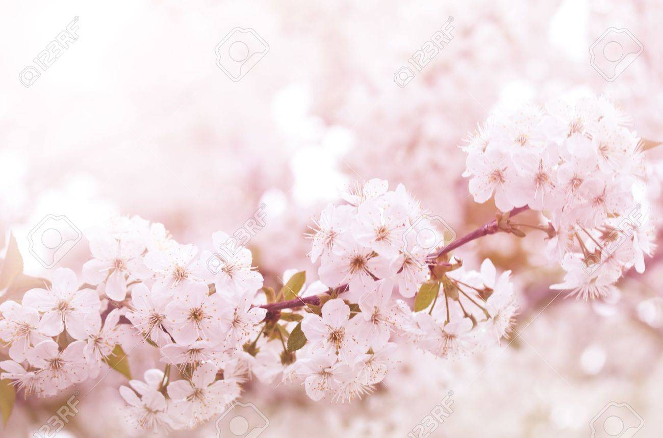 Spring blooming cherry flowers branch Stock Photo - 9371102
